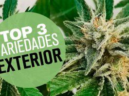top 3 variedades exterior de marihuana