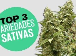 plantas top 3 marihuana sativa