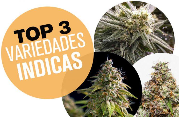 plantas de semillas de marihuana indicas
