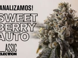sweet berry auto cogollo caracteristicas