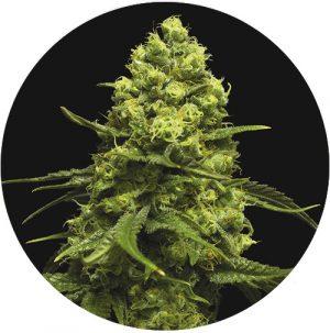 Moby 47 autofloreciente semilla de marihuana